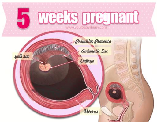 Узи при беременности в 5-6 недель